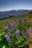 wildflowers at hurricane ridge