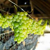 grapes drying for straw wine, Biza Winery, Cejkovice, Czech Republic