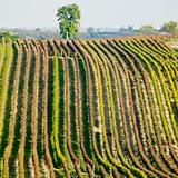 vineyards in Cejkovice region, Czech Republic