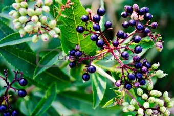 Black Elder berries