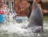Dolphin clapping its fins in the water