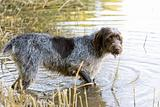 hunting dog in pond