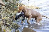 hunting dog with a catch