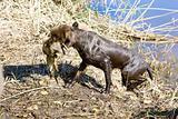 hunting dog near pond