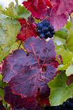 grapevines in vineyard Jecmeniste, Eko Hnizdo, Czech Republic