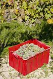 wine harvest, vineyard U svateho Urbana, Czech Republic