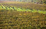 vineyards, ZD Sedlec, Czech Republic
