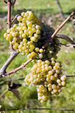 vineyard, Sedlec, Czech Republic