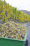 wine harvest, vineyard near Bernkastel, Rheinland Pfalz, Germany