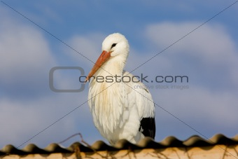 storks breeding (Centre de Rintroduction des Cigognes), Hunawihr, Alsace, France