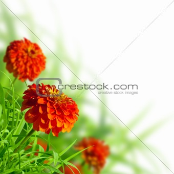 Beautiful zinnias in summer meadow