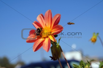 Bumblebee and wasp pollin flower