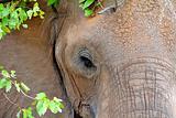 African Elephant in Kruger Park