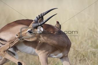 African Antelope Kruger Park