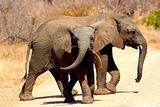 African Elephant Kruger Park