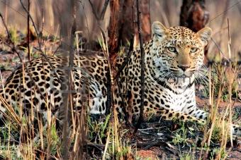 African cats Kruger Park