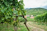 Grapes in Wachau