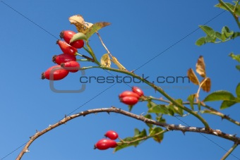 Red sweetbrier berries