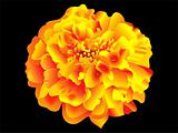 detailed Marigold flower