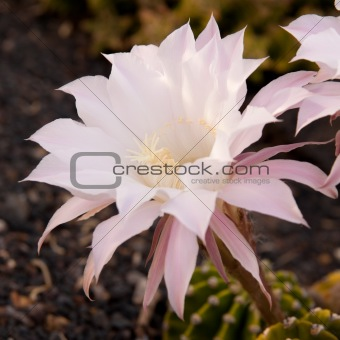 center of a pale pink cactus flower