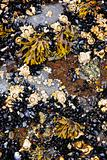 Mussels and barnacles at low tide