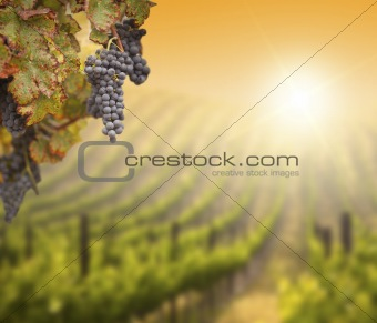Beautiful Lush Grape Vine In The Morning Mist and Sun with Room for Your Own Text on Blurry Vineyard Background.