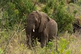 African elephant among the trees