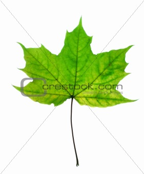 Beautiful fall leaf isolated over white background