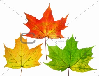 Beautiful fall leafs isolated over white background