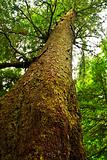 Tall hemlock tree trunk in temperate rainforest