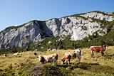 cows at rofan in the austrian alps