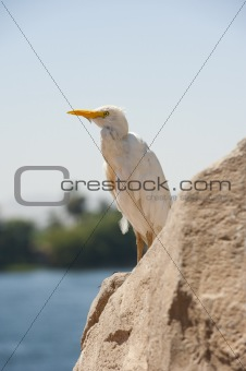 Cattle egret perched on a rock