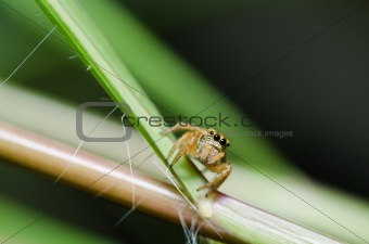 jumping spider in green nature
