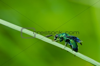 green wasp in green nature or in garden