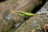 Praying Mantis in natural environment