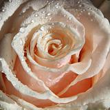 Rose in dew drops.