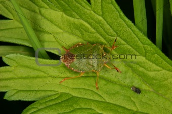 Green shield bug (Palomena prasina)