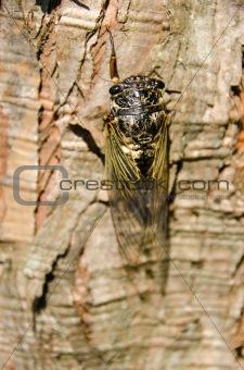 Cicada, Cryptotympana facialis