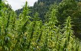 hemp field detail