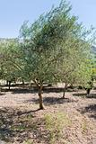 olive tree
