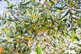 green olive tree with olive 