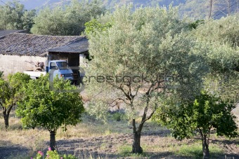 oliive and citrous garden