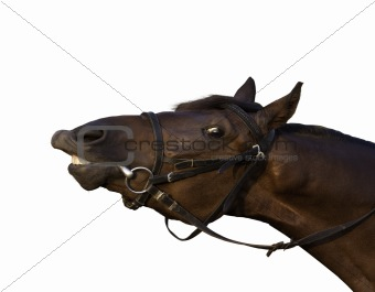 Funny tan horse close-up try to eat a branch