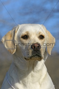 Young labrador portrate