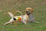 Labrador and With a basketof fruits