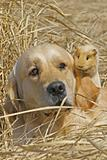 Labrador and Guinea-pig