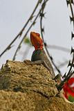 Lizard in a burbed wire