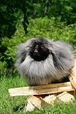 The Pekingese or Peke