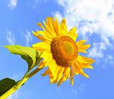 Summer sunflower over blue sky