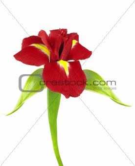 Beautiful red iris flowers isolated on white
